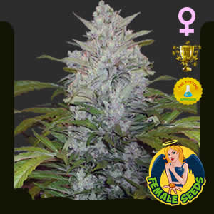 Bubble Continuum Bud Feminized