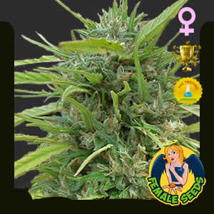 Critical Haze Feminized