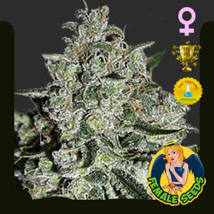 Ghost Train Haze Feminized Featured