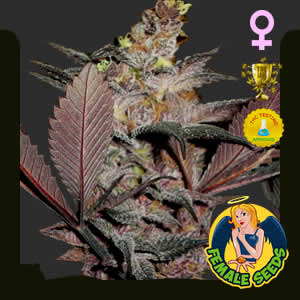 Holy Grail Kush Feminized